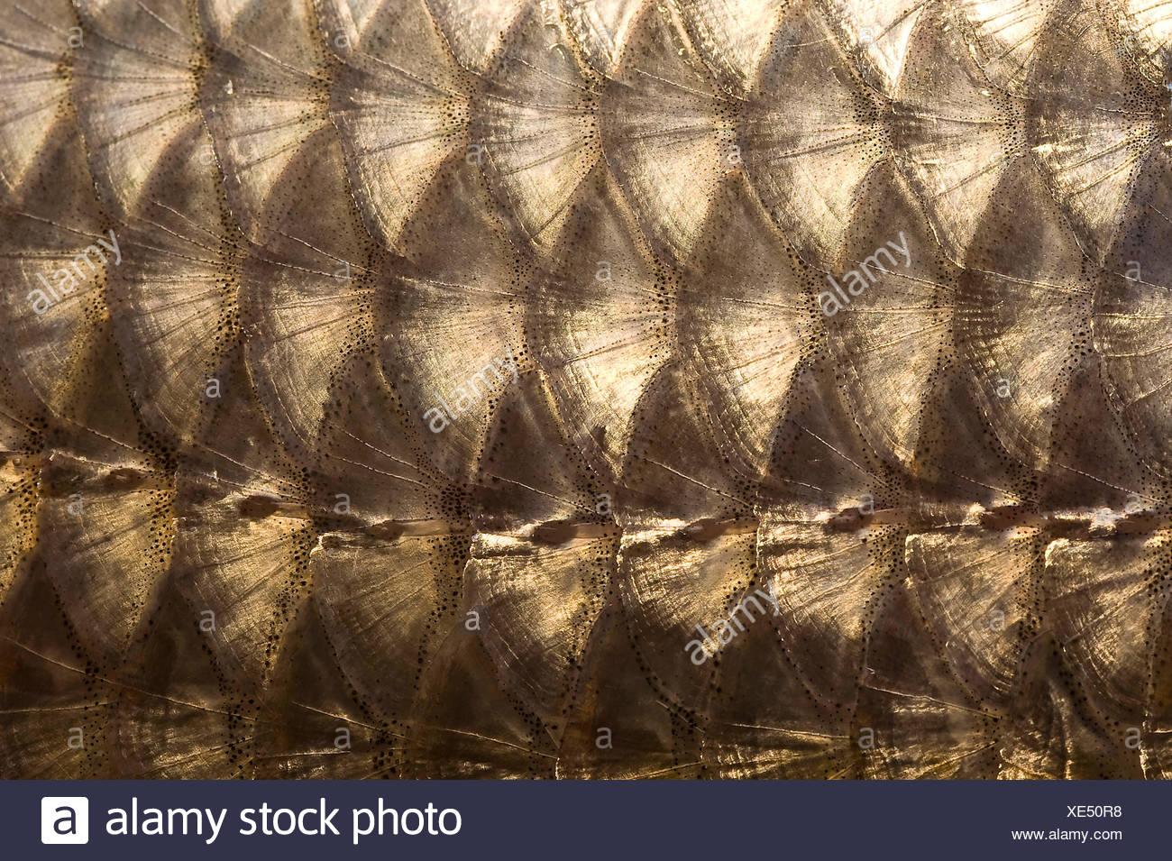 Fish scales in medium close-up - Stock Image