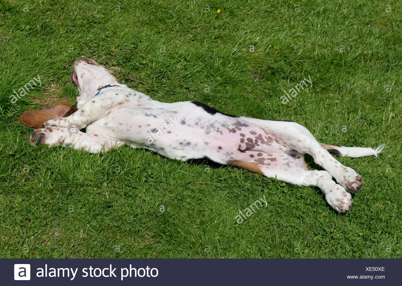 Four month old basset hound puppy rolling on his back - Stock Image