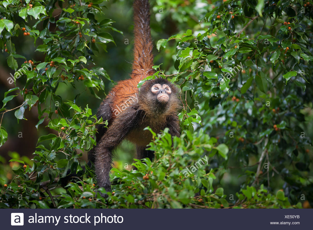 A spider monkey, Ateles geoffroyi, climbs in a tree. - Stock Image
