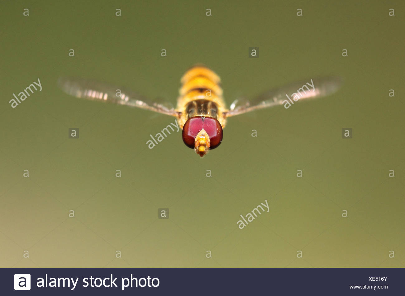 Close up portrait of a hover or syrphid fly with pollen grains on its compound eyes. Records show that their speed can be up to 300 wing beats per second. - Stock Image