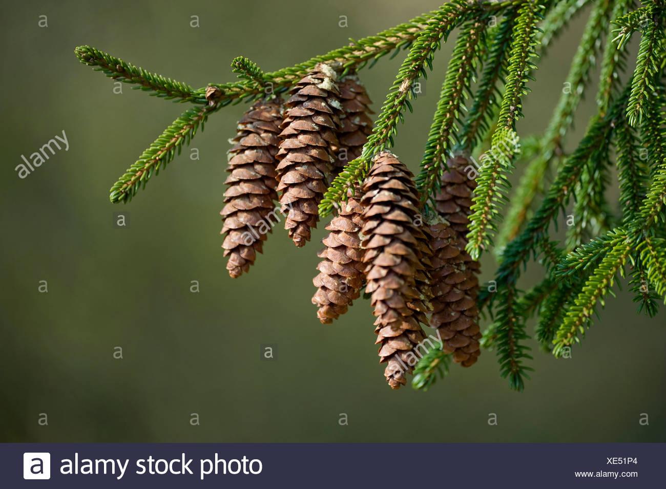 Priental Spruce (Picea orientalis), cones on a branch - Stock Image