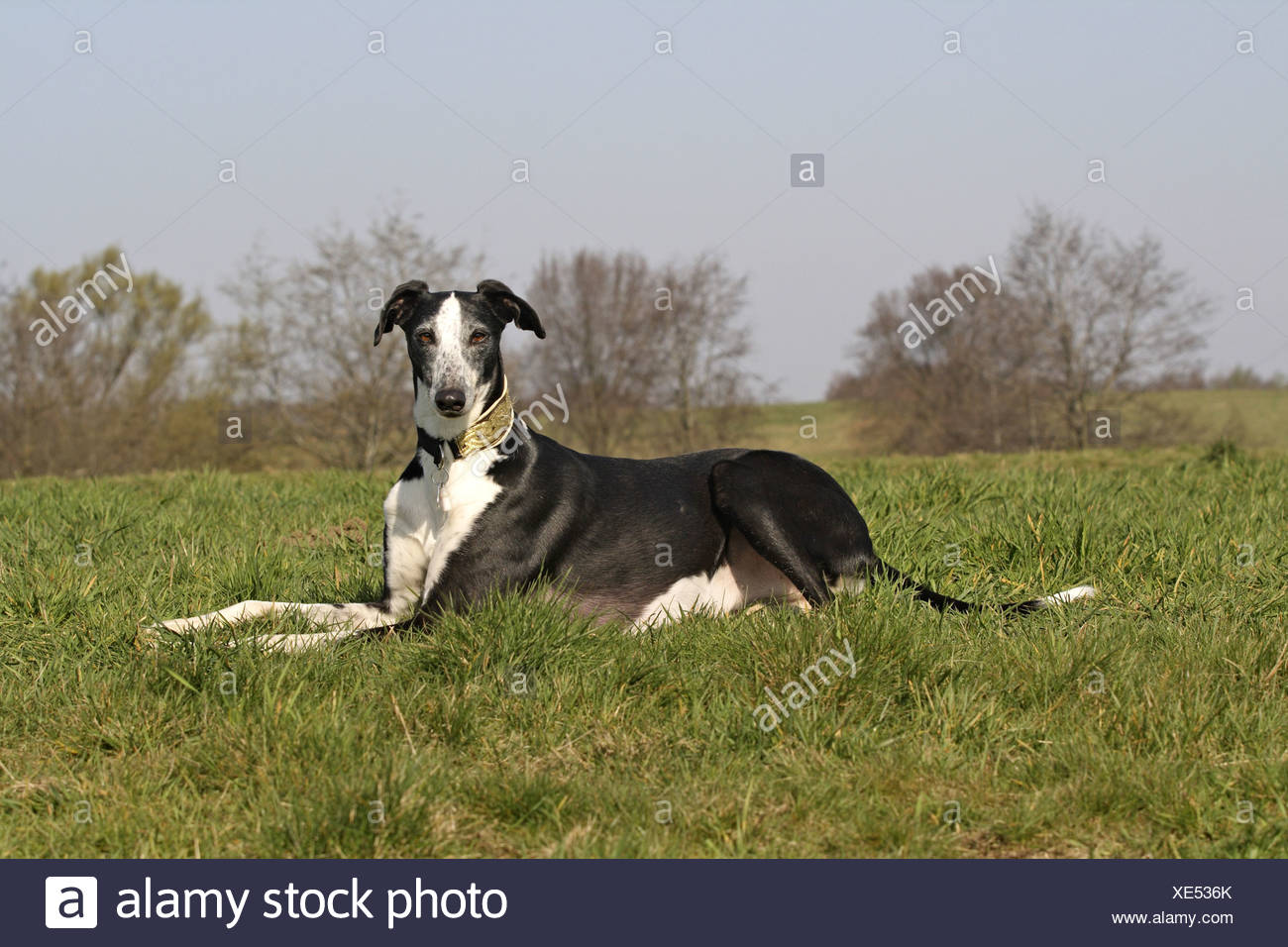 Spanish Greyhound (Canis lupus f. familiaris), lying in meadow Stock Photo