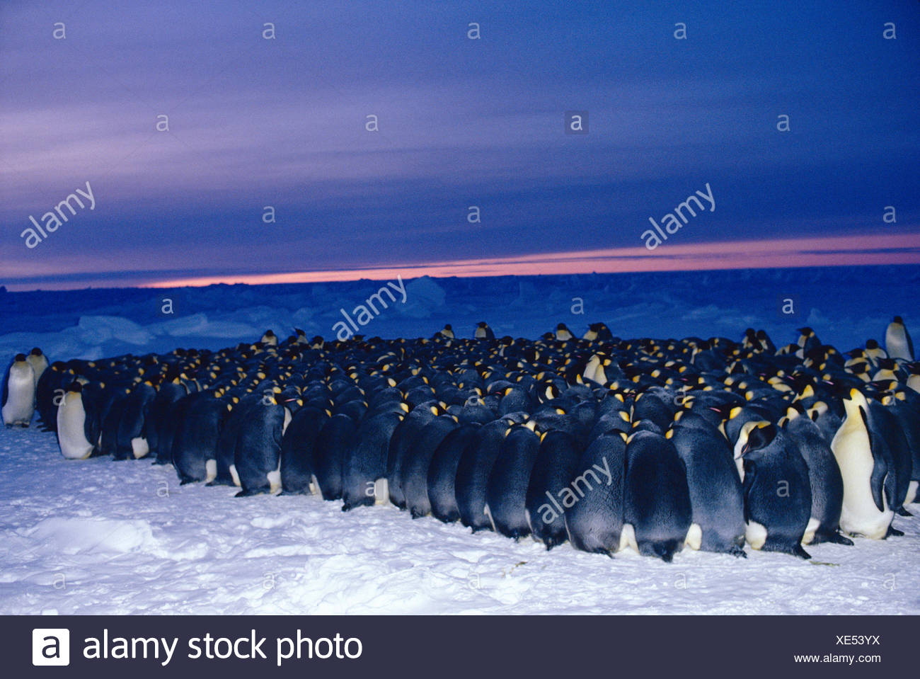 Emperor penguin {Aptenodytes forsteri} males huddle for warmth in minus 40 degrees centigrade while incubating eggs in winter, Antarctica Winter extreme cold survival birds seabirds nesting-behaviour - Stock Image