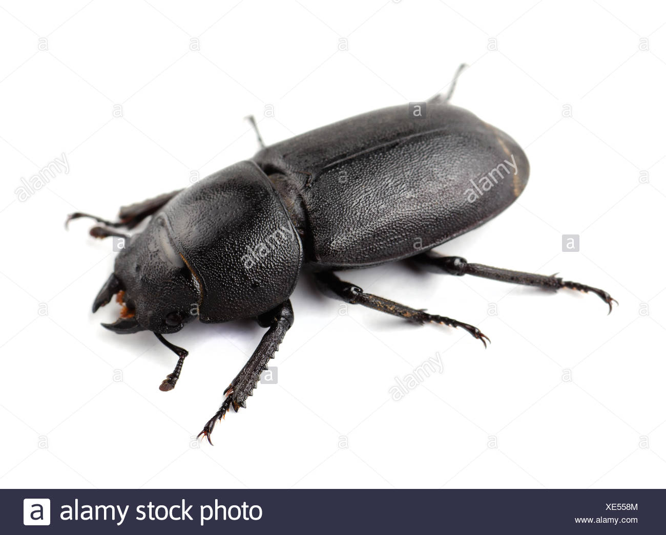Stag beetle - Stock Image