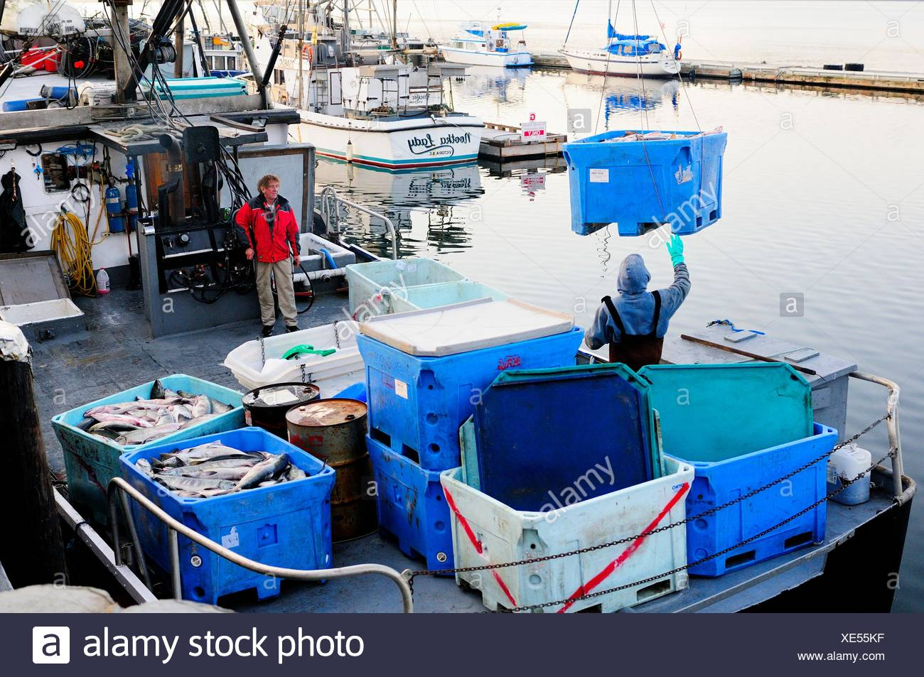 Chum salmon (Oncorhynchus keta) being moved out of the hold on a fish boat in Cowichan Bay, BC., Canada - Stock Image