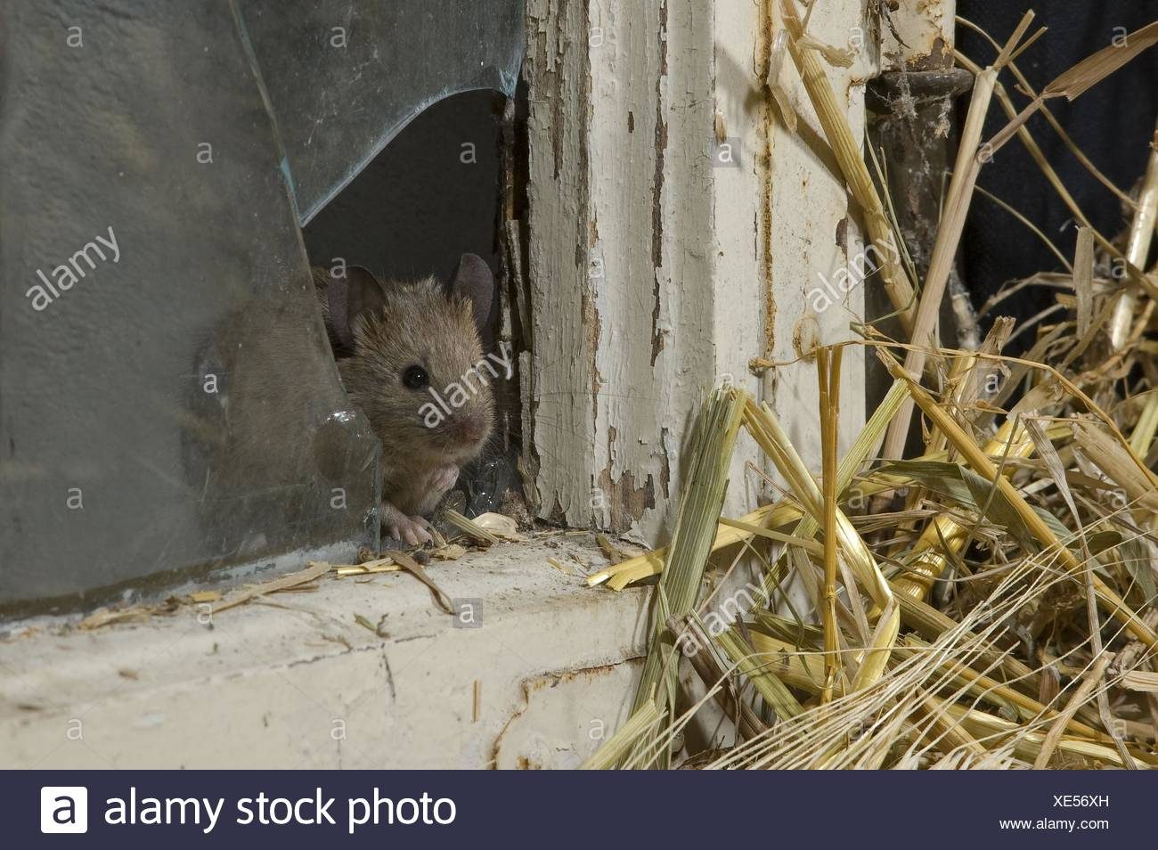 mouse at broken window - Stock Image
