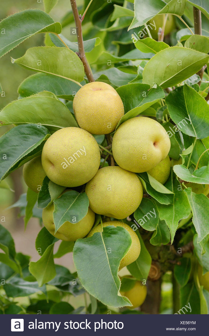 Asien pear (Pyrus pyrifolia 'An Ben Pear', Pyrus pyrifolia An Ben Pear), peras on a tree, cultivar An Ben Pear, Germany - Stock Image