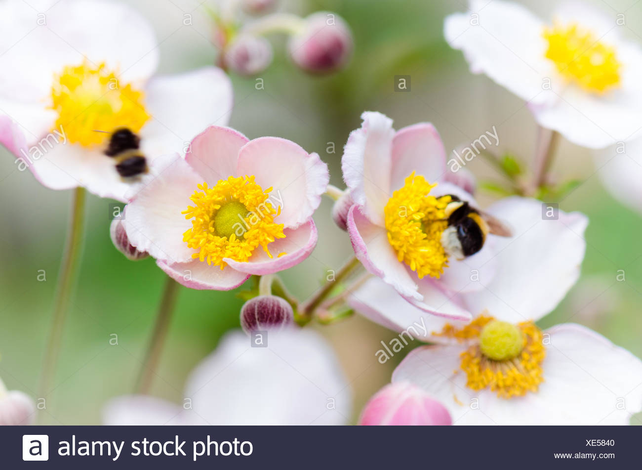 a bee collects pollen from flower, close-up - Stock Image