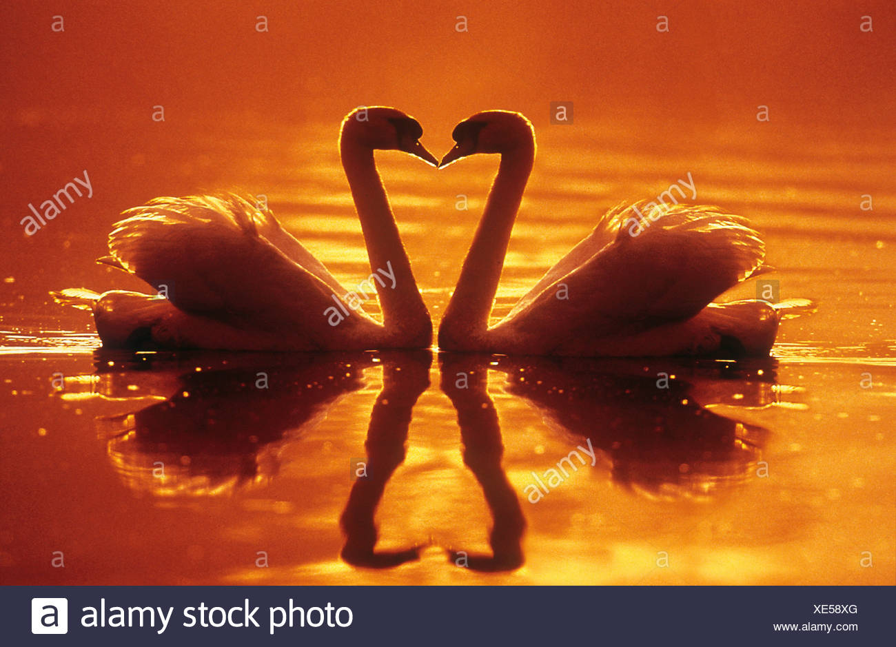 two swans - heart Stock Photo