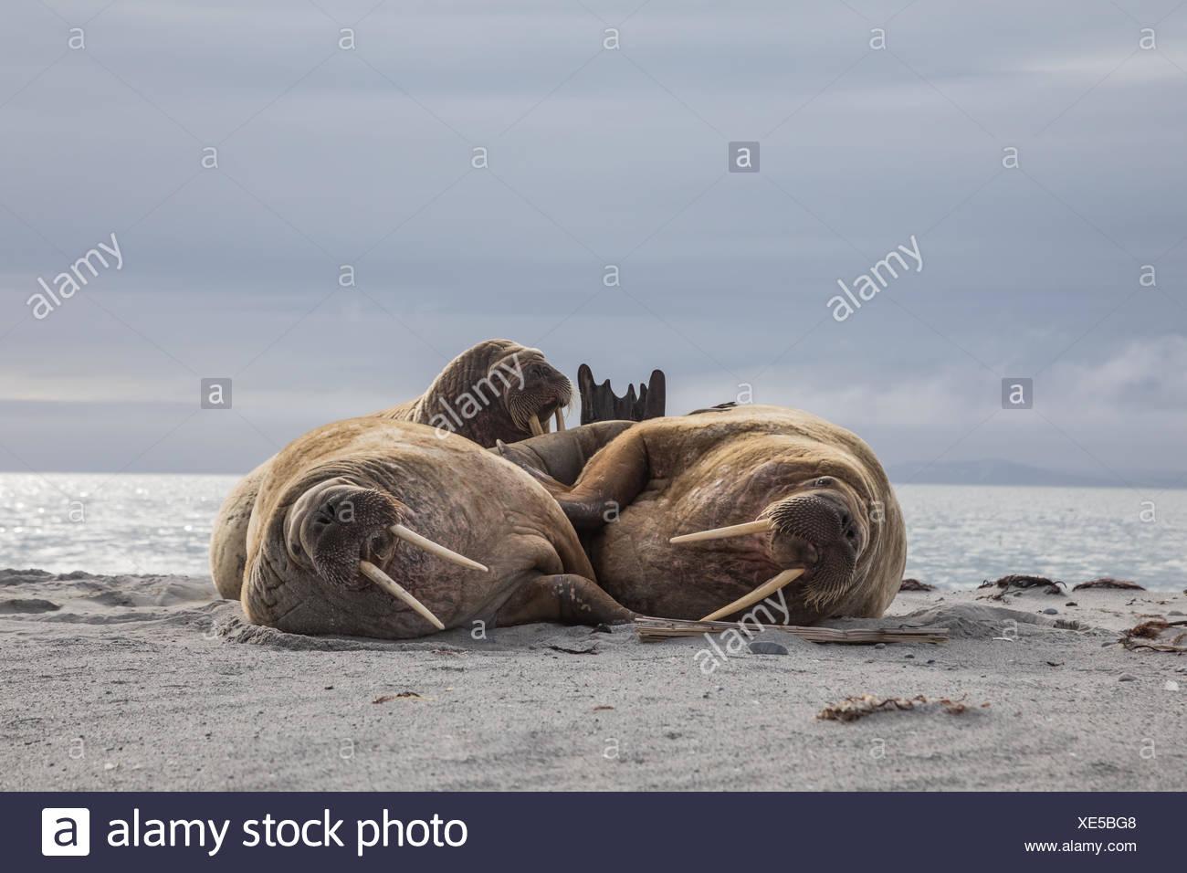 Three bull walruses rest on the beach. Stock Photo