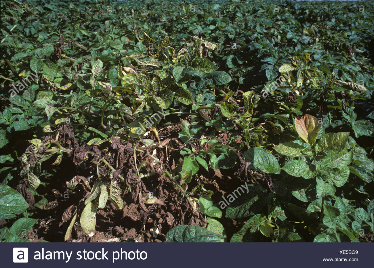 Potato crop suffering from severe magnesium deficiency - Stock Image