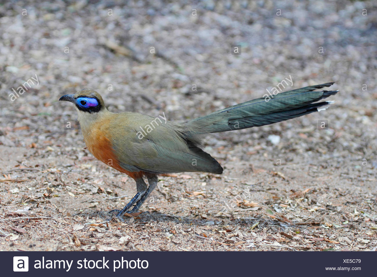 Giant Madagascar coucal, Giant coua (Coua gigas), stands on the ground, Madagascar, Zombitse-Vohibasia National Park - Stock Image