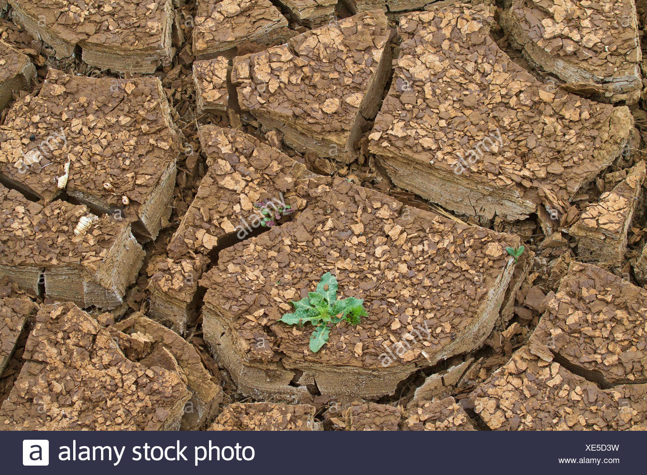 single plant growing on a soil ground flawed of drought, Spain, Andalusia, Parque Natural los Alcornocales - Stock Image