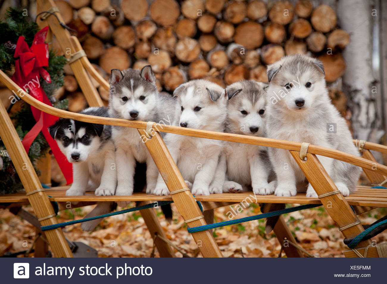 Siberian Husky puppies in traditional wooden dog sled with Christmas wreath, Alaska - Stock Image