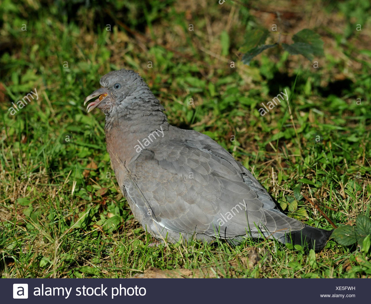 A very old pigeon resting on some grass. - Stock Image
