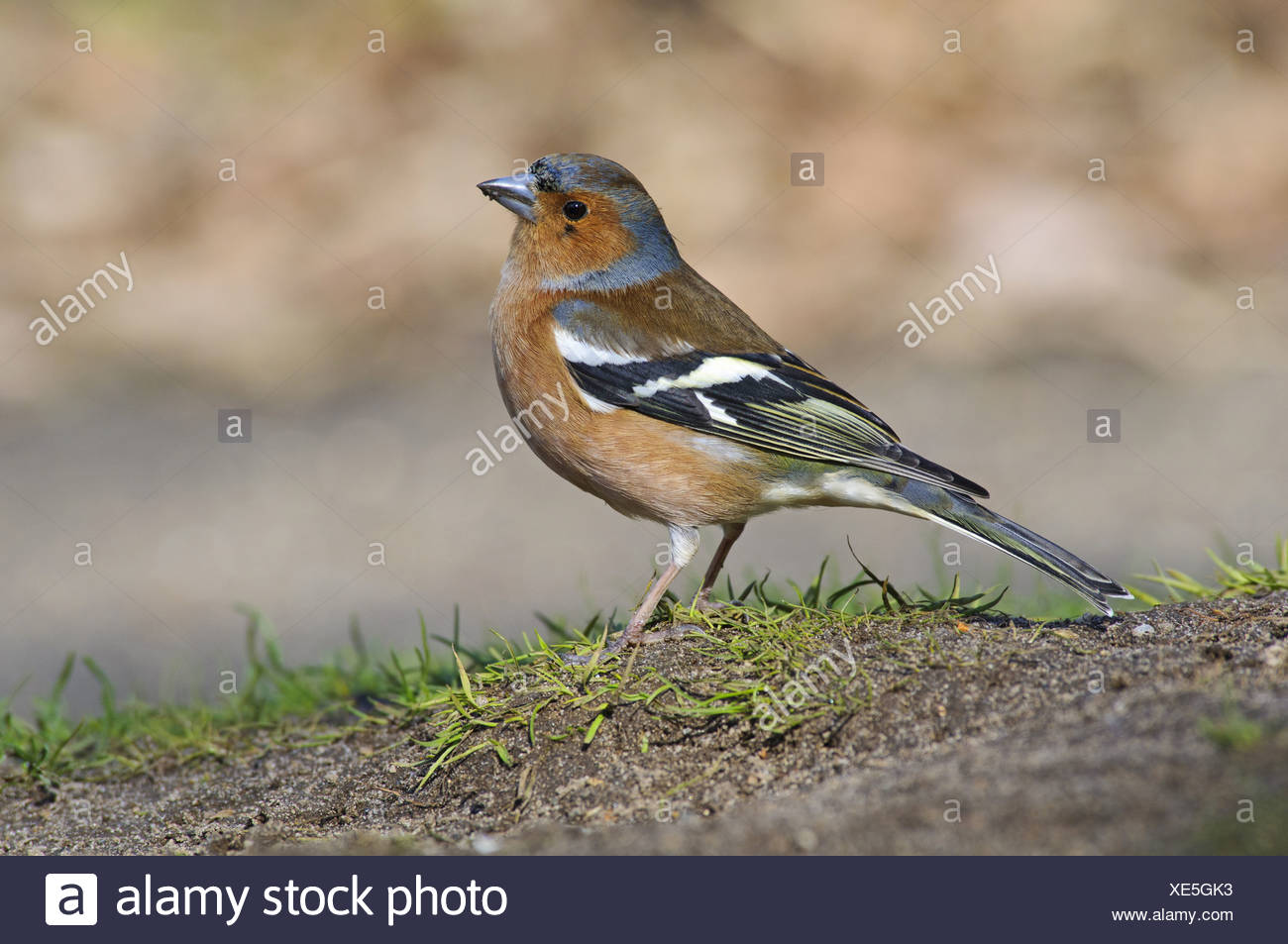 Chaffinch (Fringilla coelebs) adult male, foraging on ground under birdfeeders, Minsmere RSPB Reserve, Suffolk, England, - Stock Image