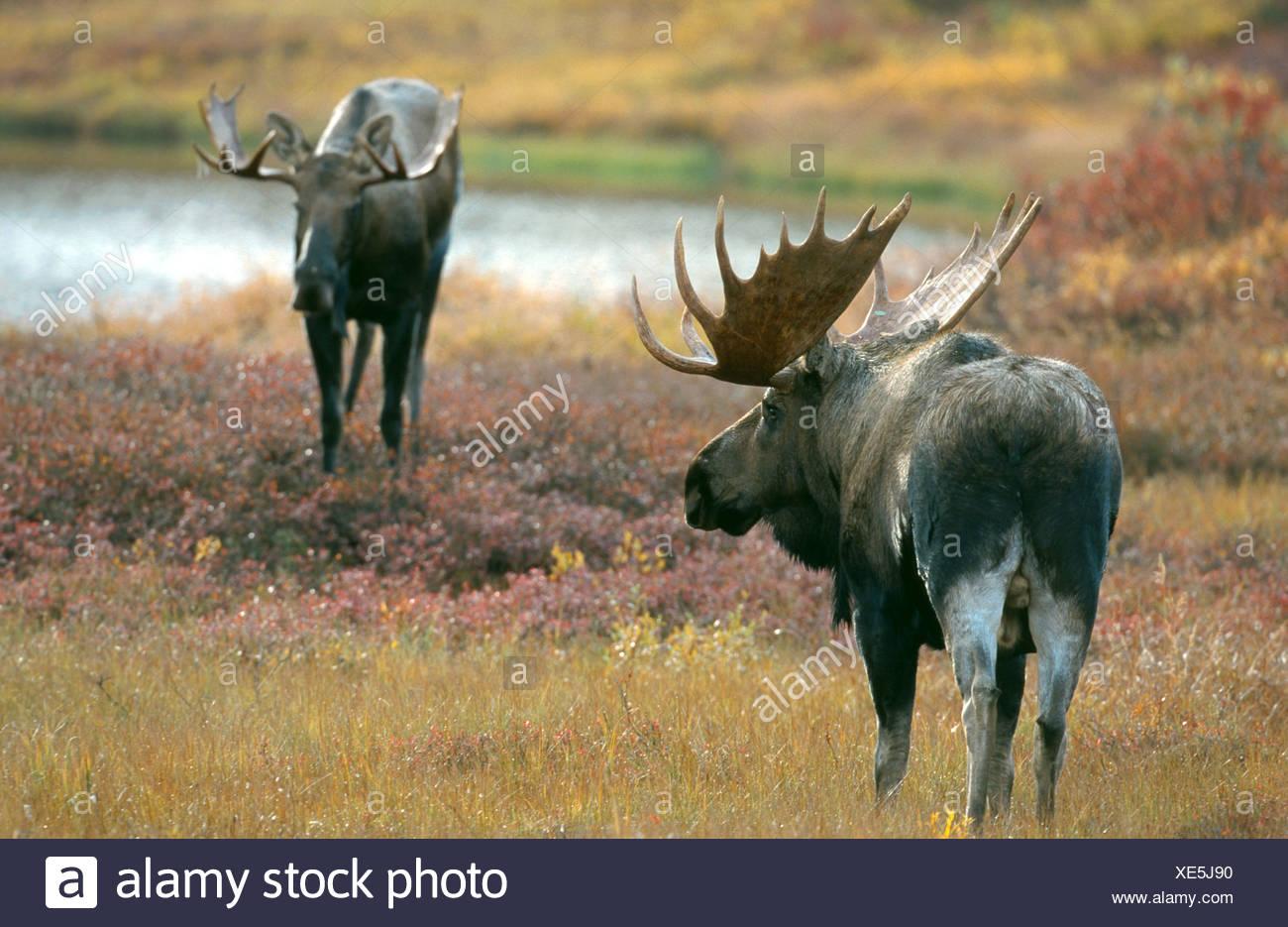 Alaska moose, Tundra moose, Yukon moose (Alces alces gigas
