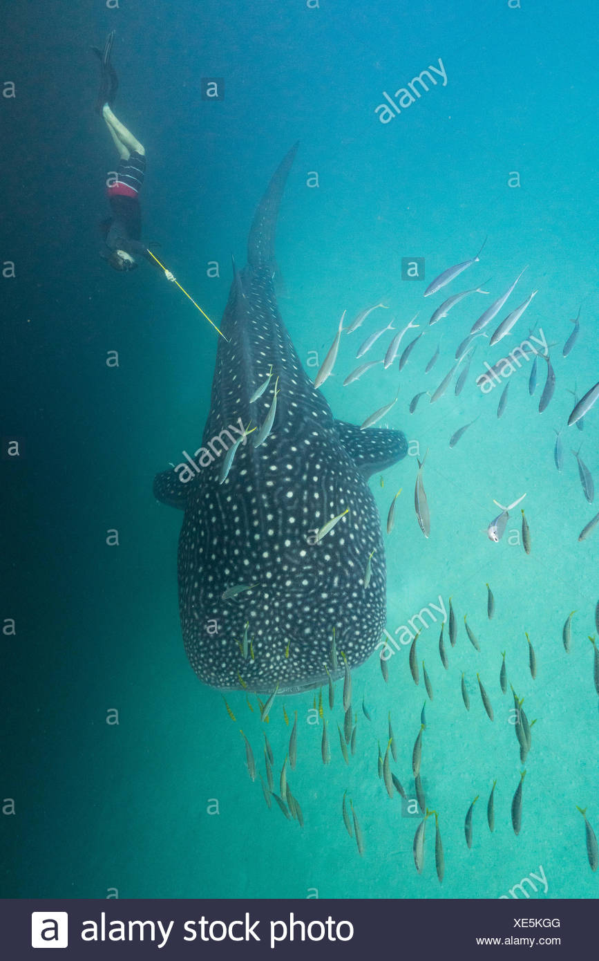 A researcher from the Marine Megafauna Foundation biopsies a whale shark. - Stock Image