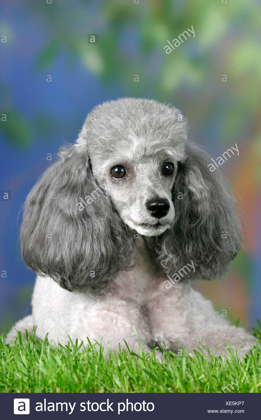 Toy Poodle Silver Stock Photo 284096351 Alamy