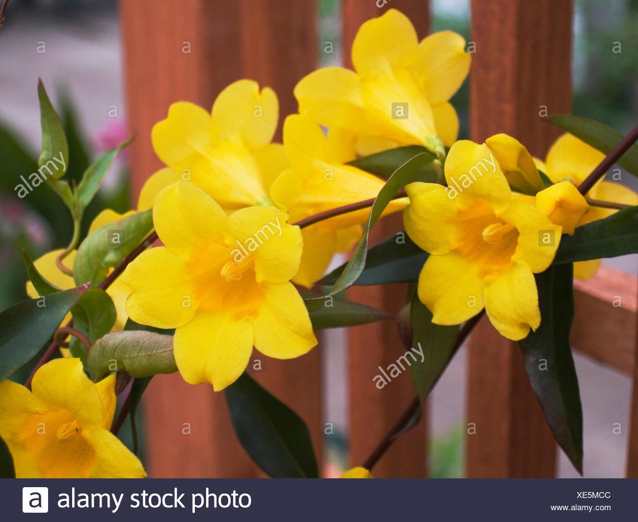 Carolina jasmine stock photos carolina jasmine stock images alamy gelsemium sempervirens carolina jasmine stock image izmirmasajfo