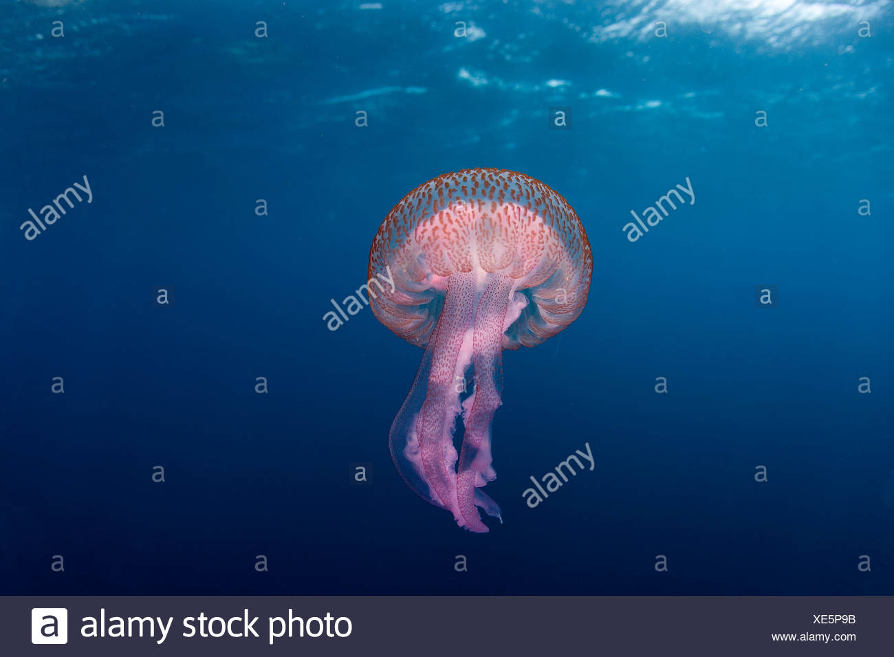 Mauve stinger jellyfish close to the surface, Marettimo Island, Egadi group, NW coast Sicily, Mediterranean Sea, Italy - Stock Image