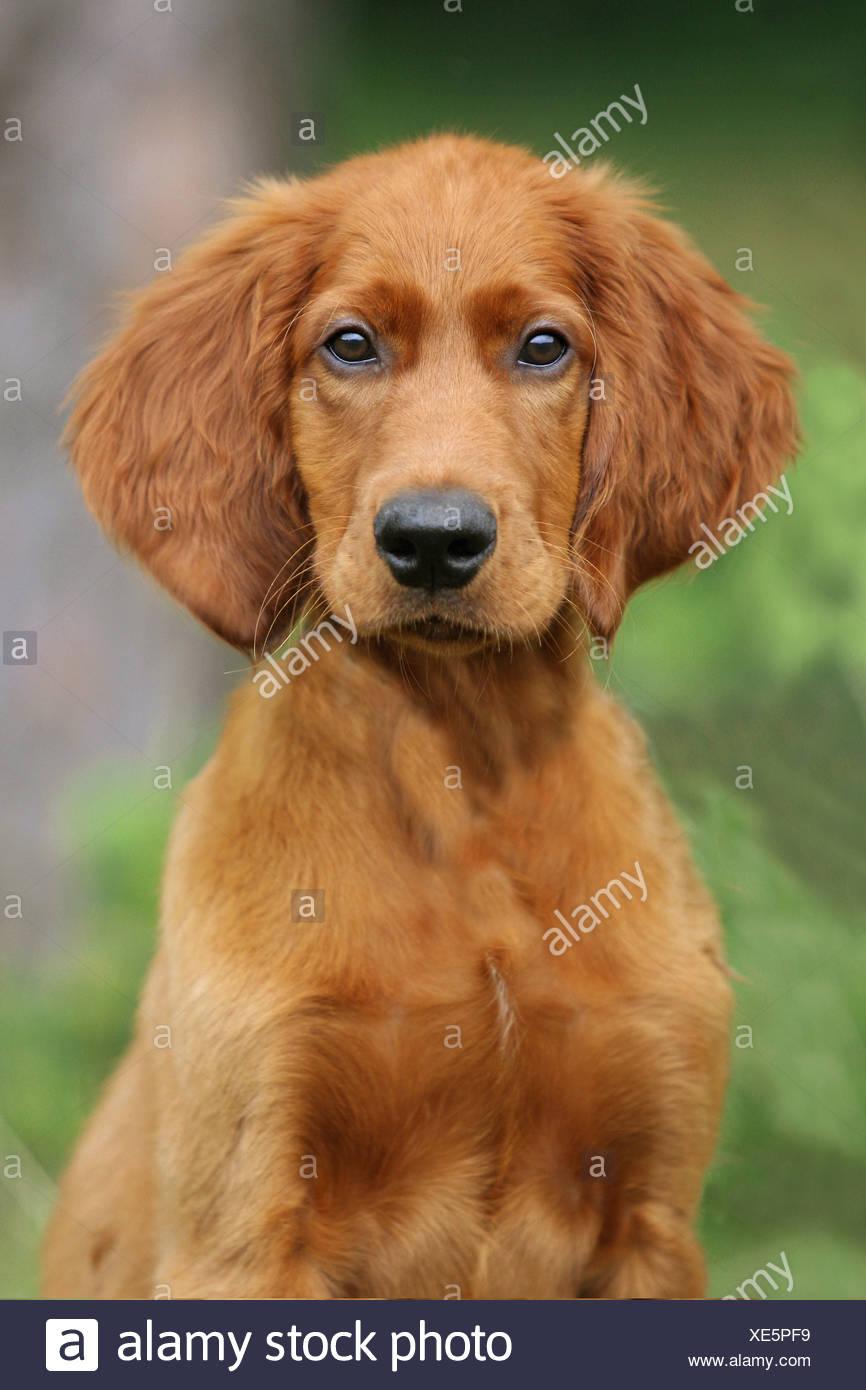 Irish Setter dog - portrait - Stock Image