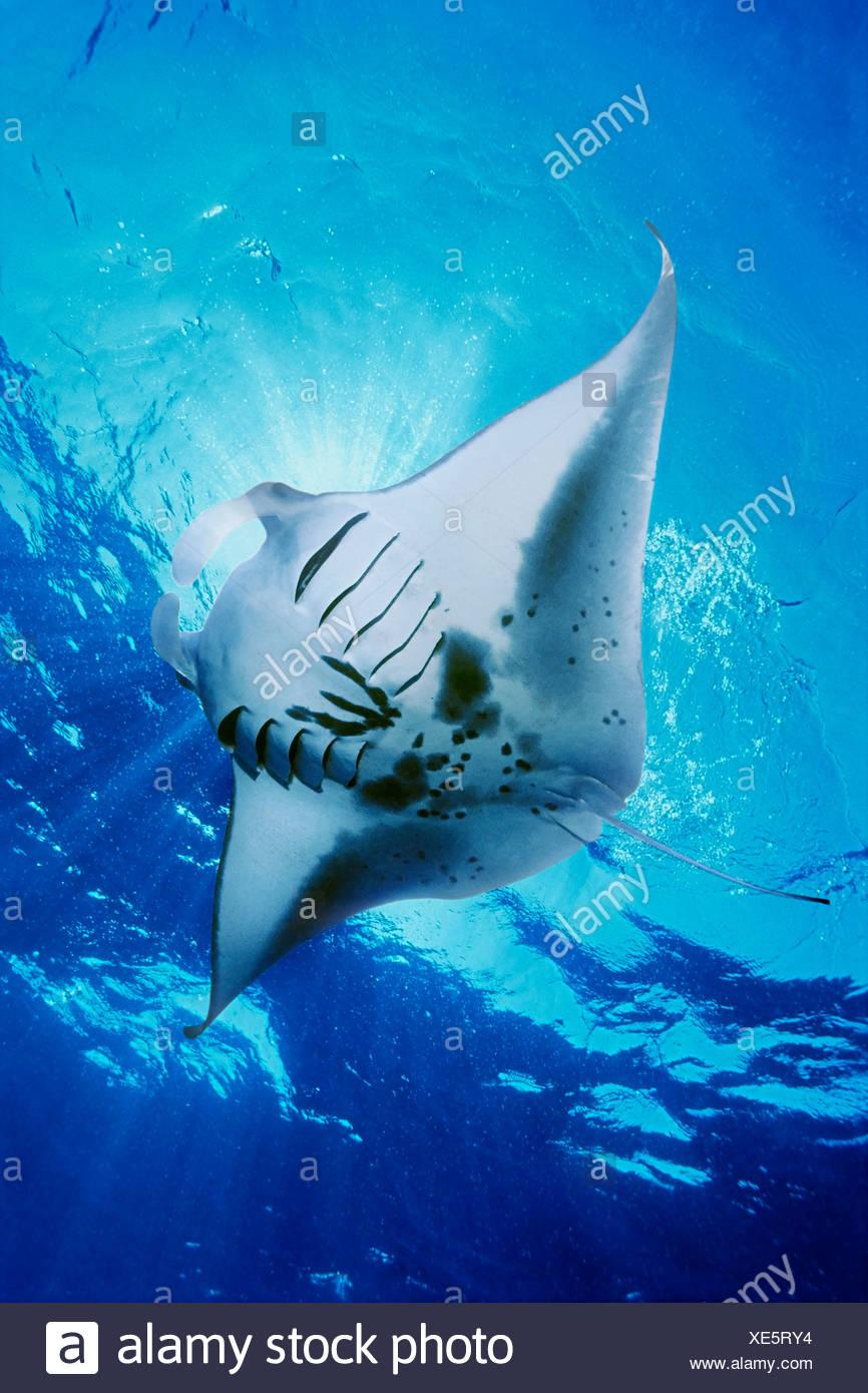 Manta ray feeding on plankton Stock Photo