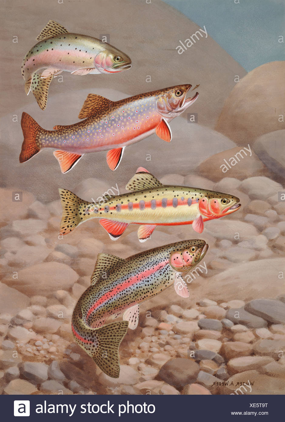 Four species of trout, rarely seen together, depicted in Wind River. - Stock Image