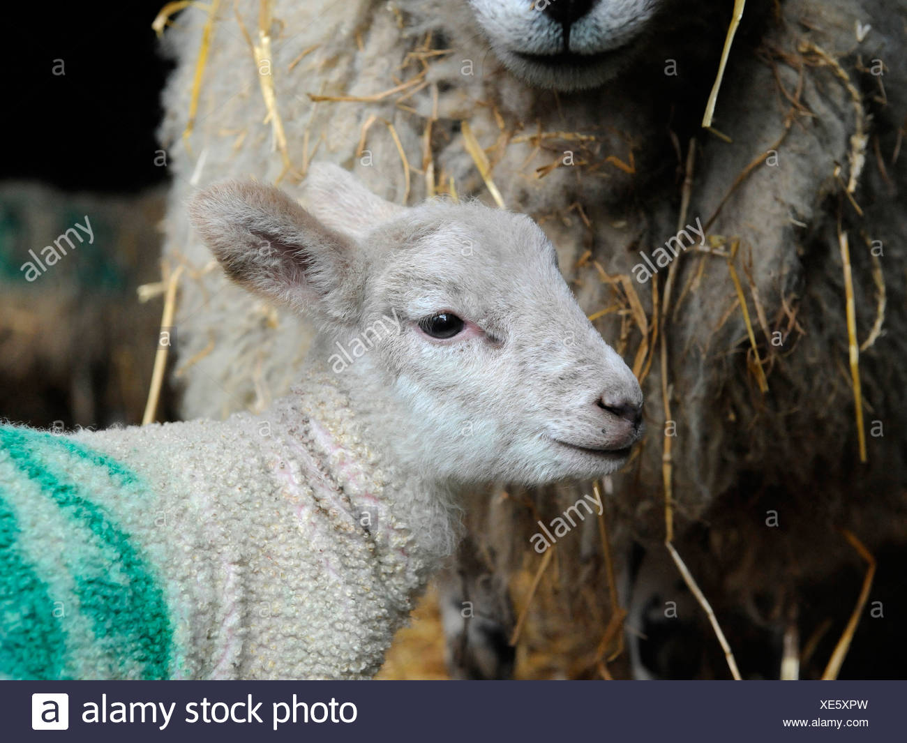 A small young lamb with its mother Stock Photo