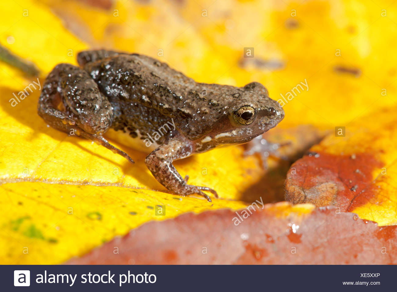 Small Dainty Frog - Stock Image
