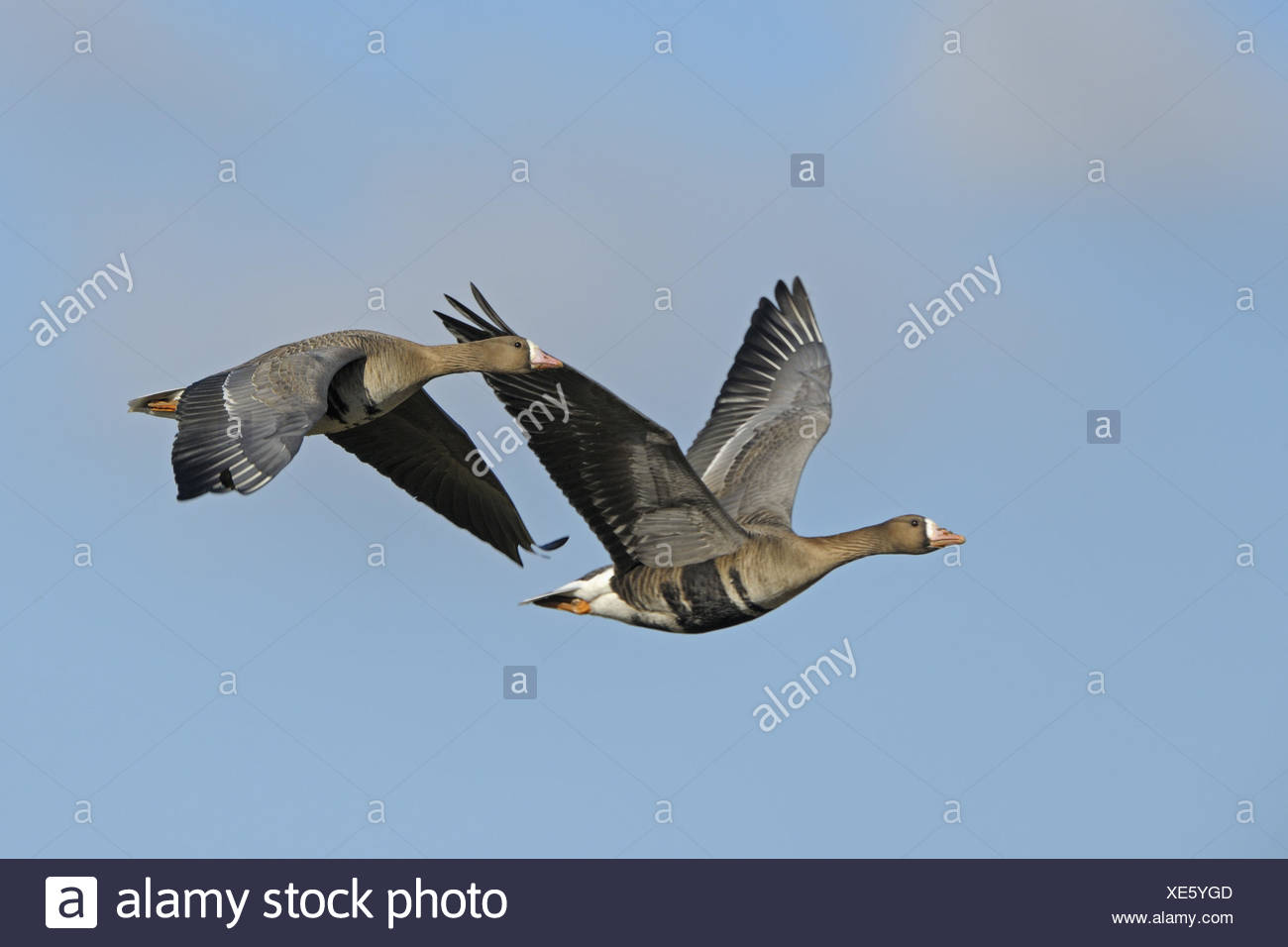 Blässgänse in the flight, the Lower Rhine, Germany, - Stock Image