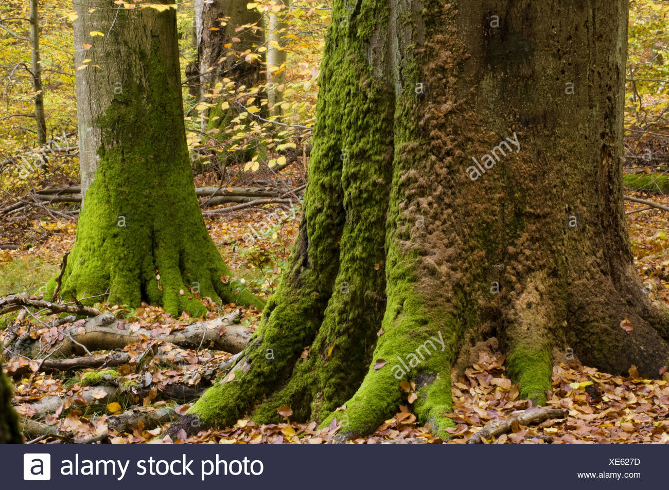 Primeval beech forest, dead trunk of a beech, covered by mosses, colours of autumn, Steigerwald, Bavaria, Germany - Stock Image