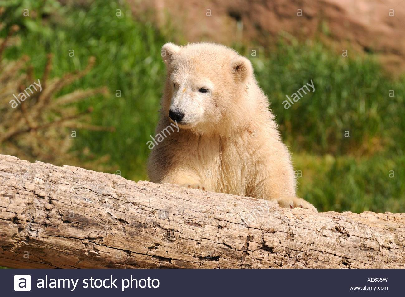 Tier bear - Stock Image
