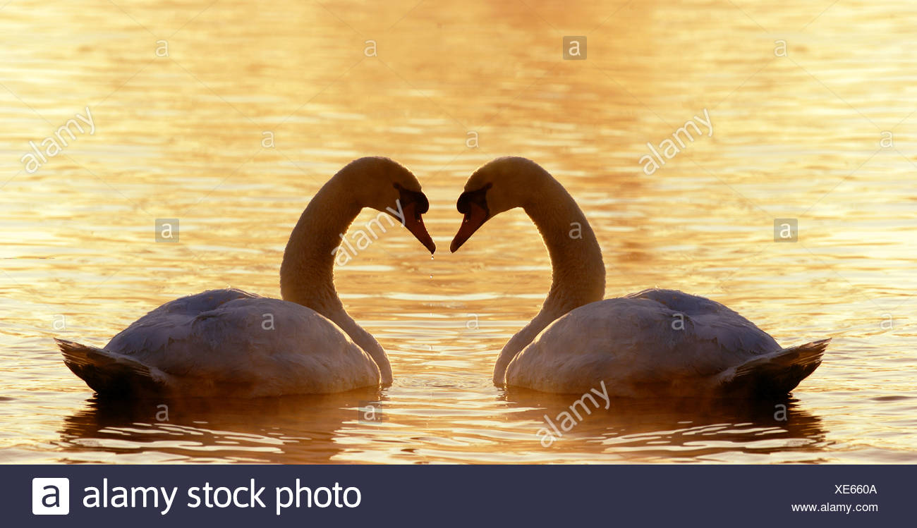 two mute swans in water / Cygnus olor Stock Photo
