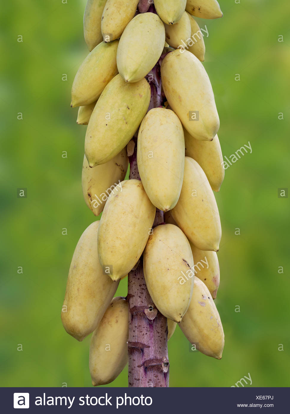 Young Papaya Pictures
