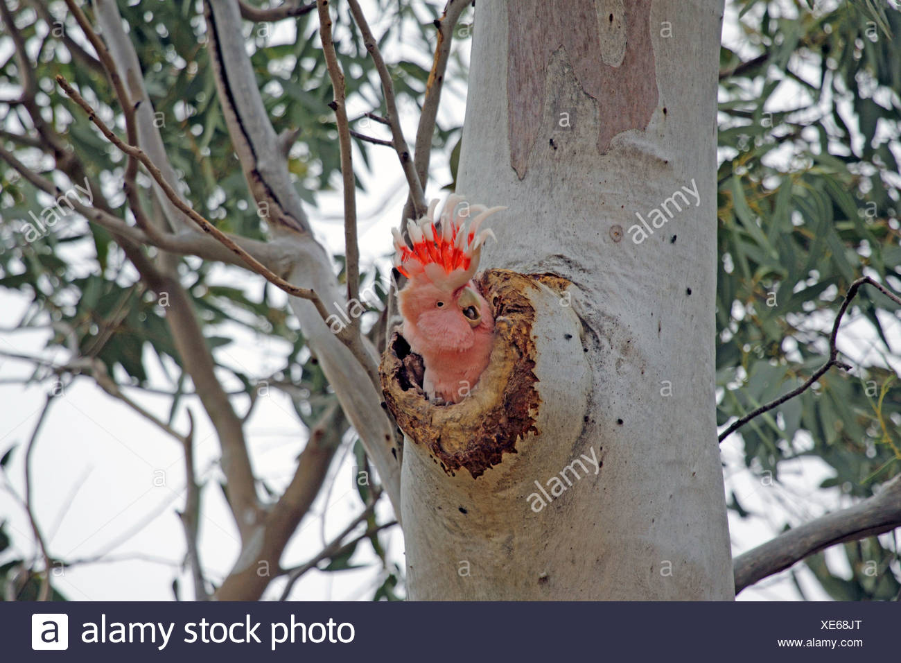 Major Mitchell's Cockatoo, Pink Cockatoo (Lophocroa leadbeateri), peeking from its nesting whole, Australia, Northern Territory, Western MacDonnell Ranges - Stock Image