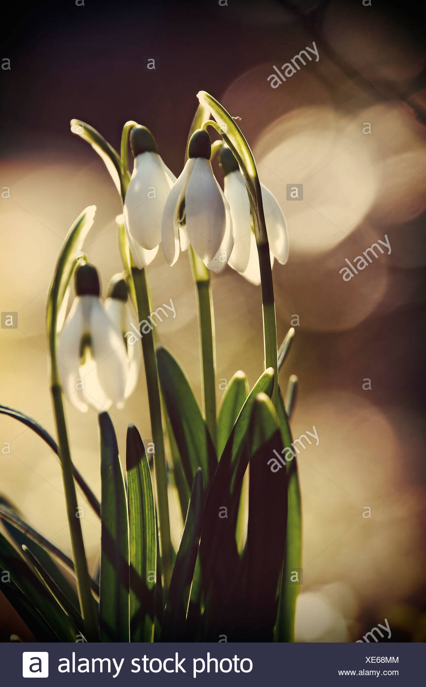 Snowdrops (Galanthus), close-up - Stock Image