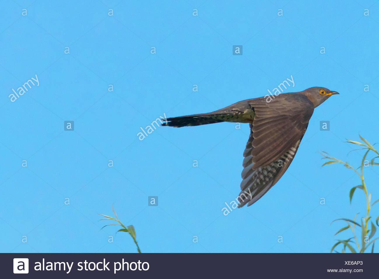 Kuckuck (Cuculus canorus), fliegend, Deutschland, Bayern | Eurasian cuckoo (Cuculus canorus), flying, Germany, Bavaria | BLWS434 - Stock Image