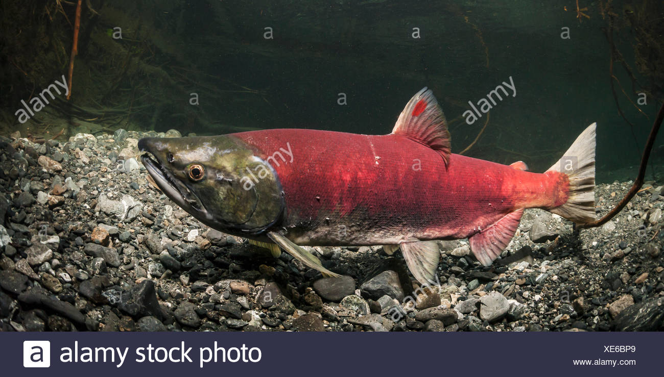 This mature Sockeye Salmon (Oncorhynchus nerka) female sports an unusual red dash on her dorsal fin, Southcentral Alaska - Stock Image