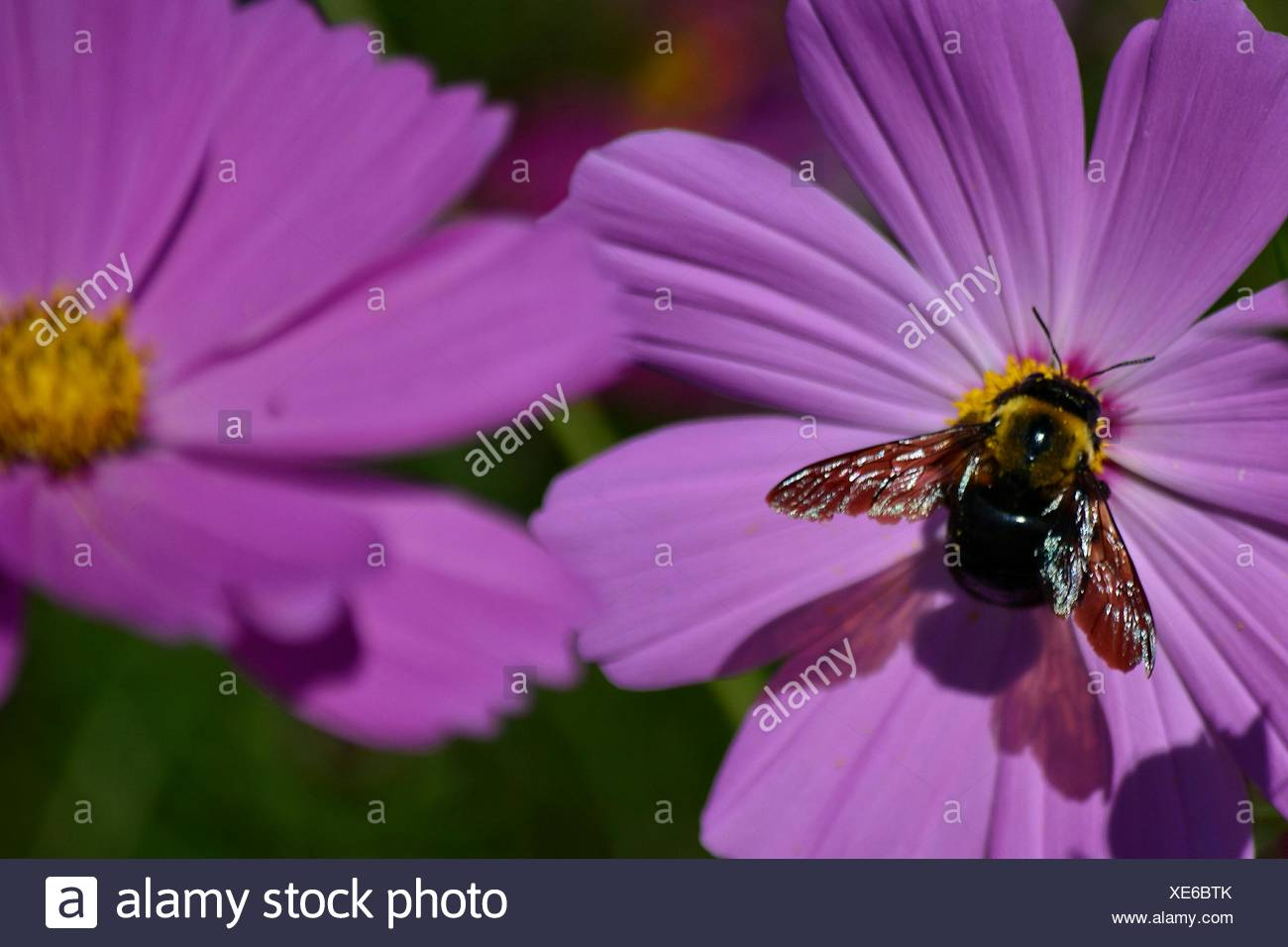 Close-Up Of Honey Bee On Purple Flower - Stock Image