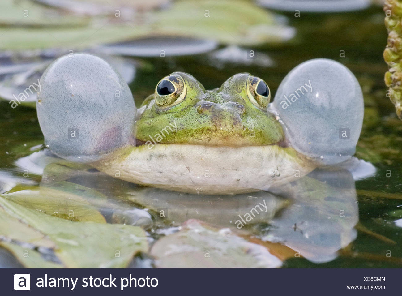Common Water Frog (Rana esculenta) with vocal sacs, Hesse, Germany - Stock Image