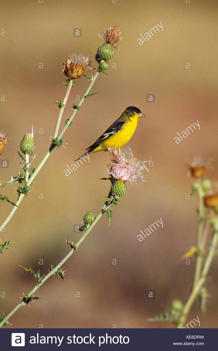 American goldfinch (Carduelis tristis), Capitol Reef National Park, Utah. - Stock Image