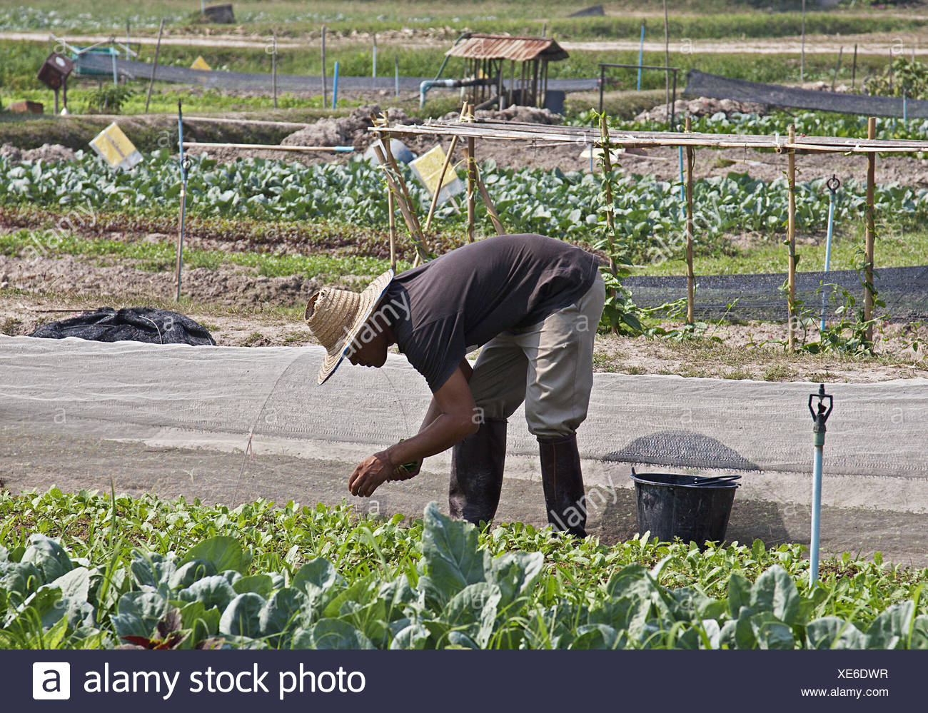 Vegetable field - Stock Image