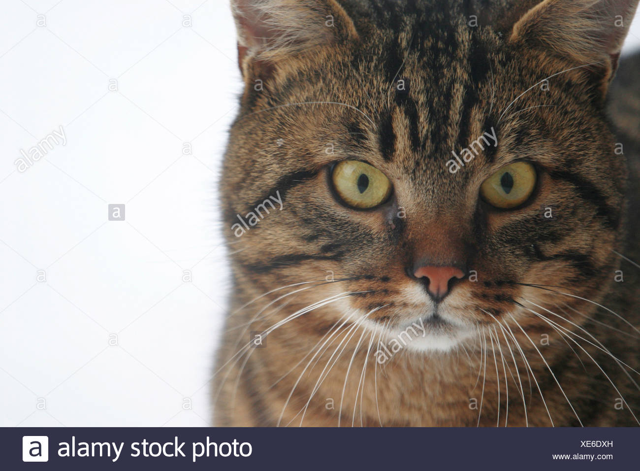 house cat - Stock Image
