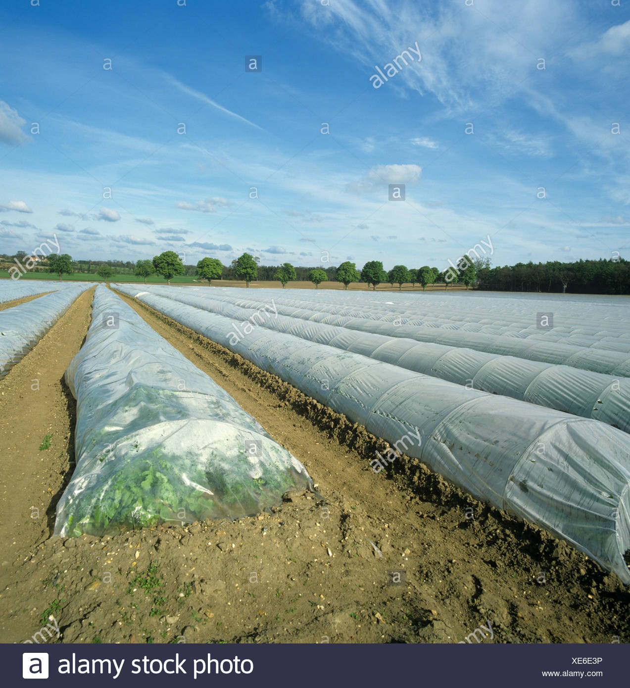 Polythene tunnels over market garden crops and distant line of windbreak trees Norfolk - Stock Image