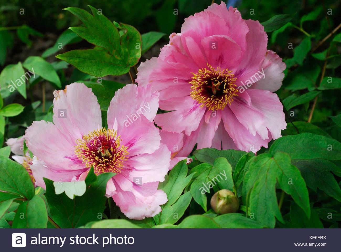 Pink red Peonies (Paeonia) Stock Photo