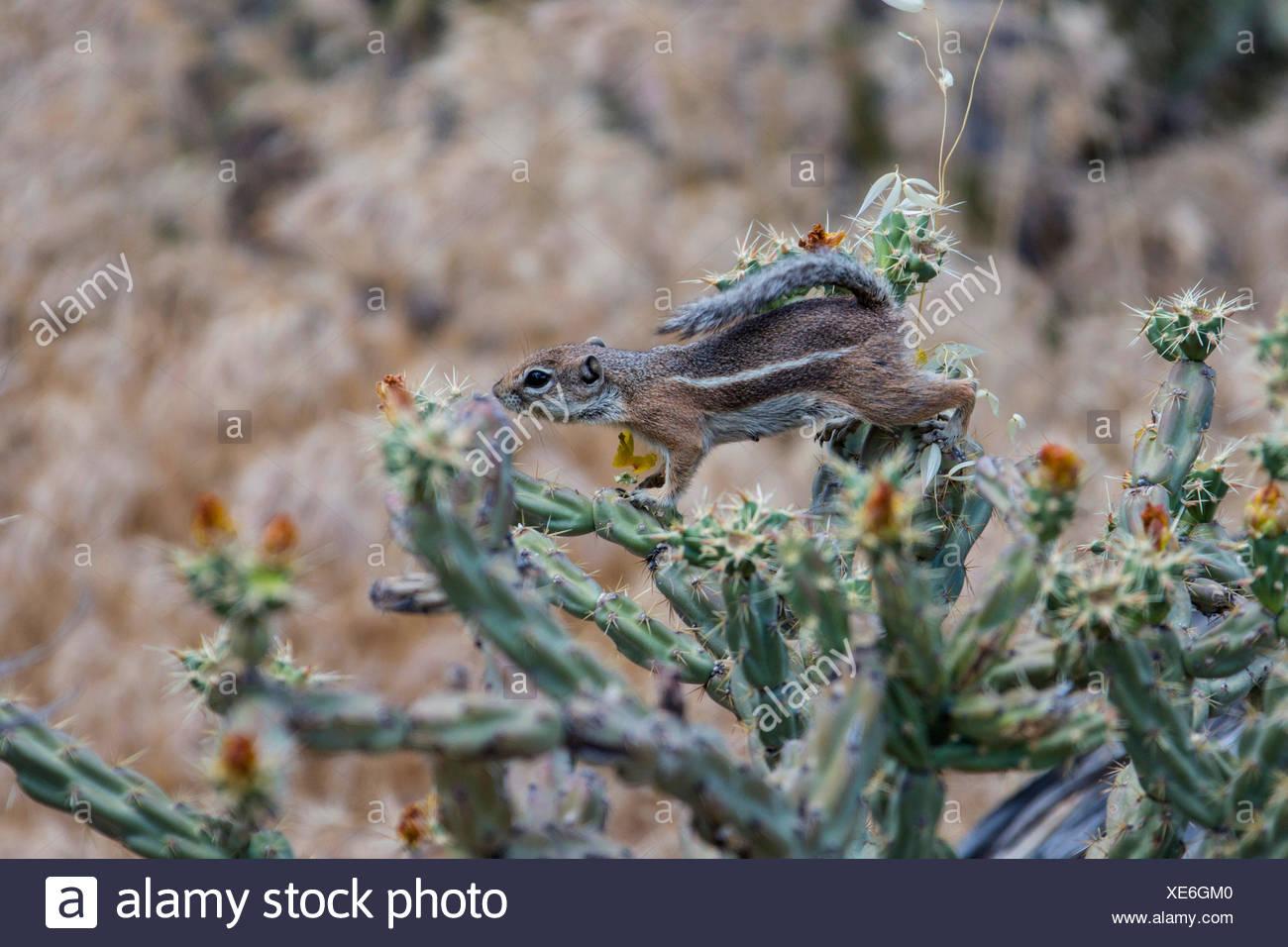 Harris's antelope squirrel (Ammospermophilus harrisii), on Buckhorn Cholla, USA, Arizona, Phoenix Stock Photo
