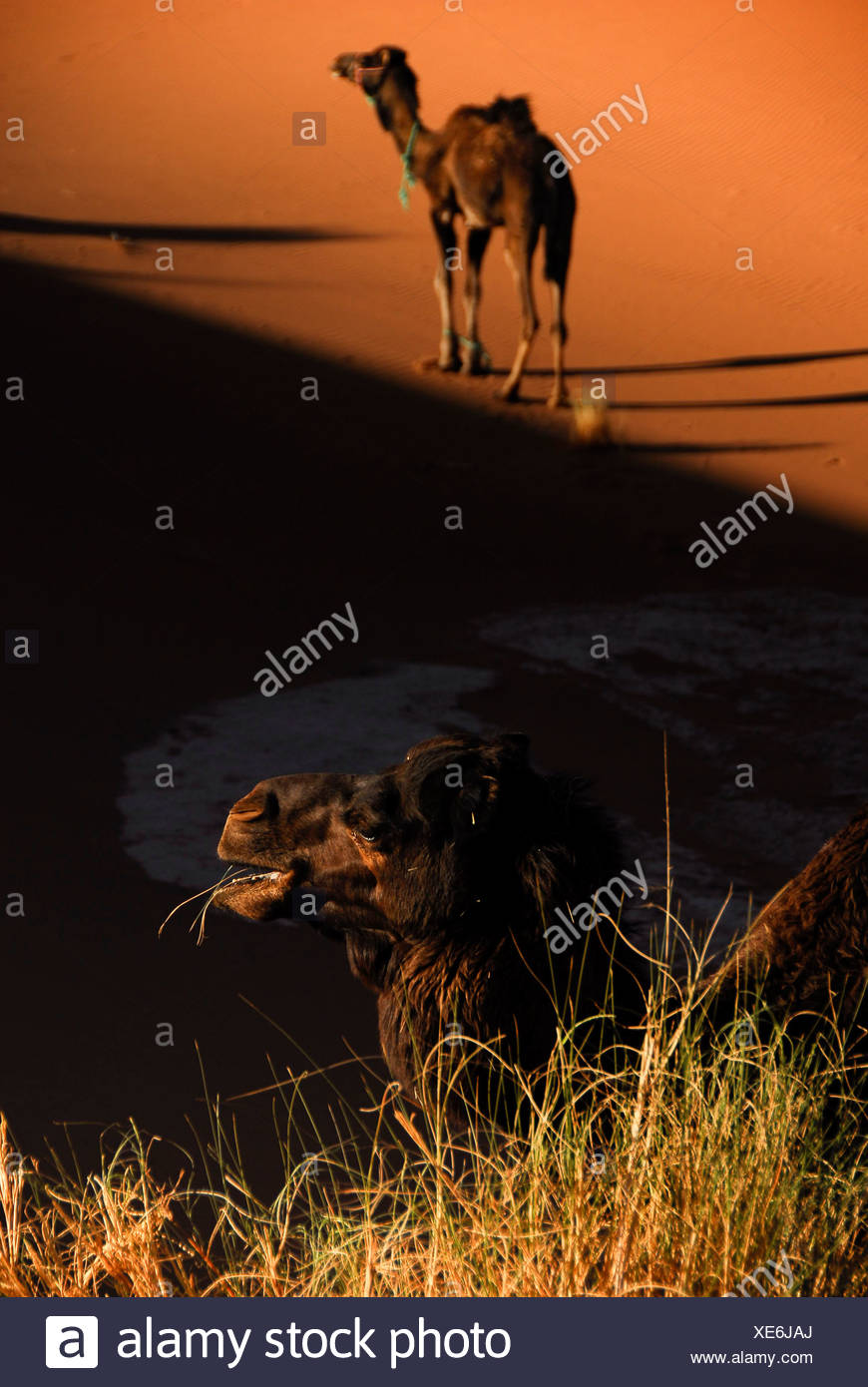 Camels rest and feed in the shade of a sand dune in the Western Sahara - Stock Image
