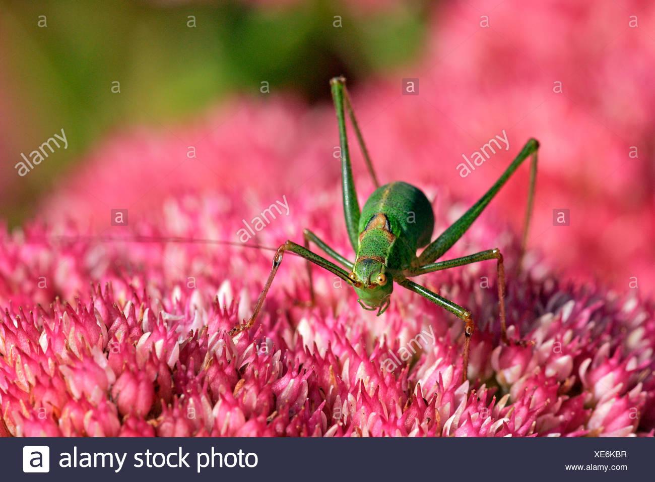 Female speckled bushcricket sitting on a flowering stonecrop - sedum live-forever - orpine - livelong - (Leptophyes punctatissi - Stock Image