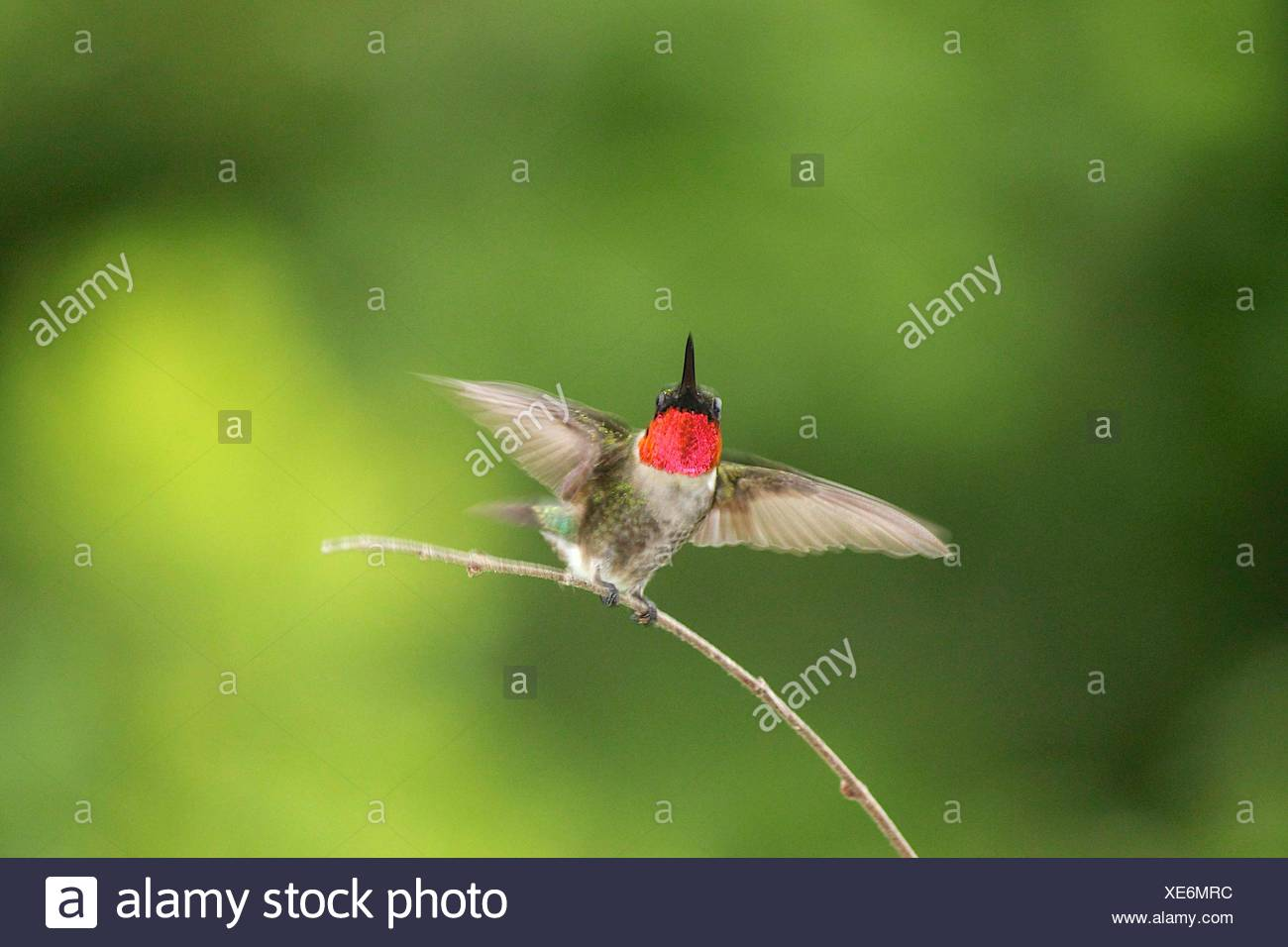 Humming bird perching on twig - Stock Image